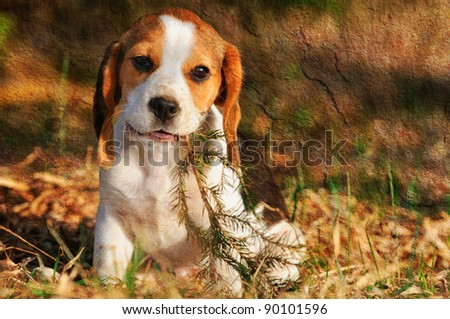 seated beagle puppy dog plays with bough  picture made in vintage style - stock photo