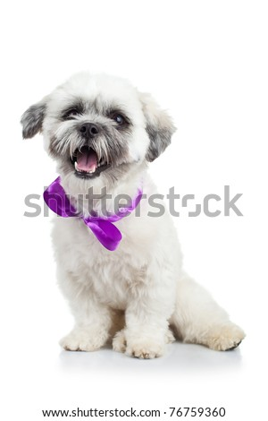 seated bichon havanese puppy wearing a purple ribbon over white