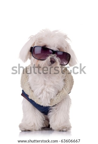 seated bichon maltese is wearing blue outfit and sunglasses - stock photo