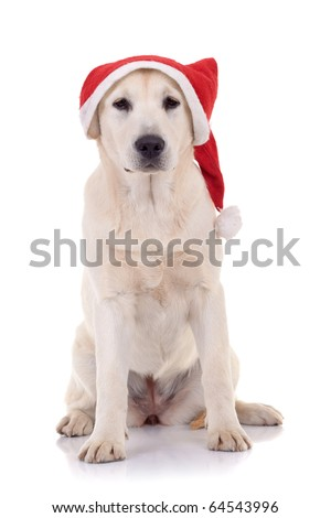 seated labrador retriever wearing a Santa hat, Studio isolated