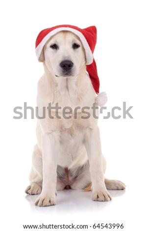 seated labrador retriever wearing a Santa hat, Studio isolated - stock photo