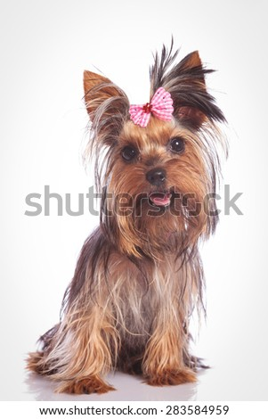 seated yorkie puppy dog looking at the camera on studio background - stock photo