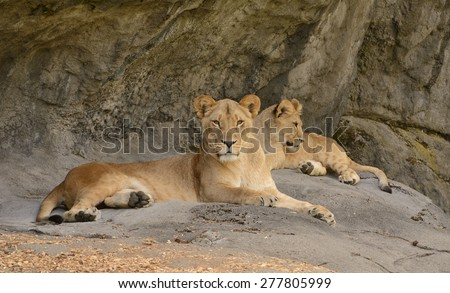Seattle - April 27: Lioness and her cub (Panthera leo krugeri), one of 3 cubs, all male, born Oct 24, 2014 at Woodland Park Zoo, Seattle. Cub is about 6 months old in this photo taken April 27, 2015.  - stock photo
