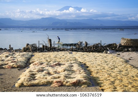 seaweed farmed along the coast of nusa lembingan opposite gunung agung volcano in bali indonesia - stock photo