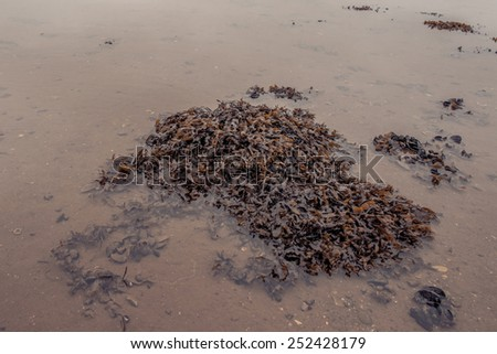 Seaweed on a low tide beach at autumn - stock photo