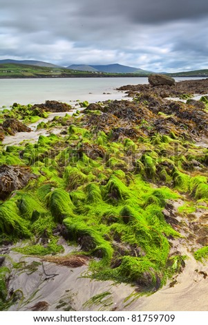 seaweed on beach ireland nice green landscape with mountains on background and dramatic sky