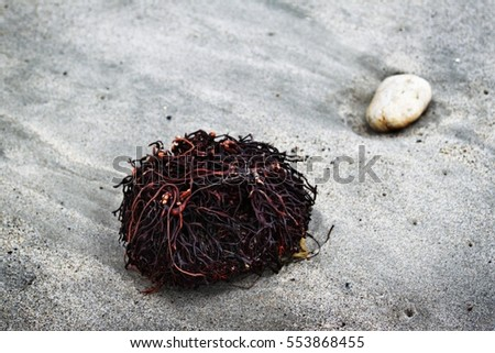 Seaweed Roots lying in the sand next to a stone.