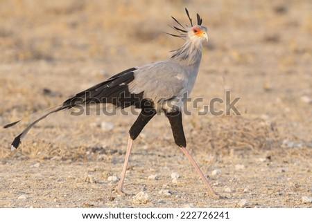 Secretary Bird - stock photo