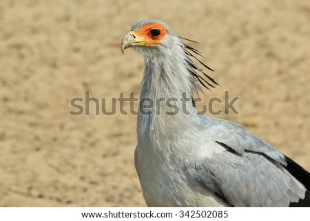 Secretary Bird - African Wild Bird Background - Raptor of Grey Beauty