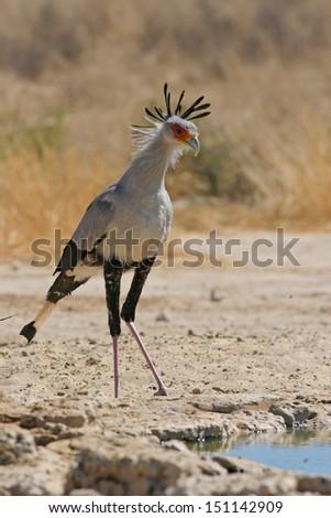 Secretary bird at waterhole - stock photo