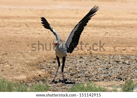 Secretary bird landing - stock photo