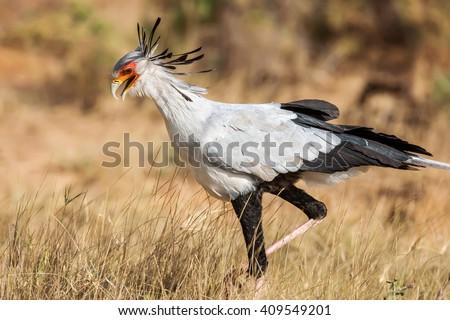 Secretary bird (Sagittarius Serpentarius) close up, Africa - stock photo