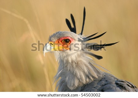 Secretary Bird, Sagittarius serpentarius, on the plains of the Masai Mara, Kenya, Africa - stock photo