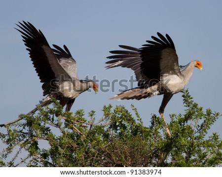 Secretary bird, Sagittarius serpentarius, roosting in a tree in Rietvlei nature reserve South Africa - stock photo