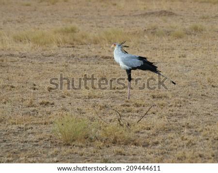 Secretarybird (Sagittarius serpentarius) in grasslands of Africa - stock photo