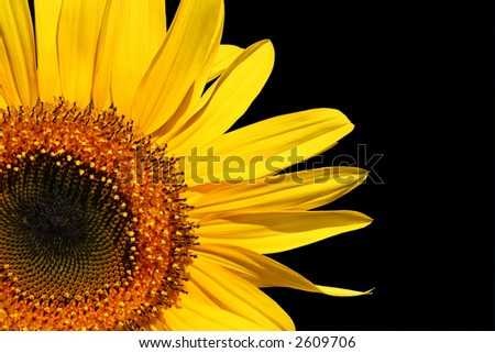 Section of a sunflower against a black background. - stock photo