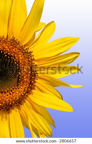Section of a sunflower against a gradient blue and white background. - stock photo