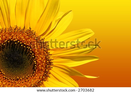 Section of a sunflower isolated on a gradient  yellow and orange background. - stock photo