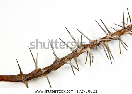 section of dried branch covered in sharp thorns - stock photo