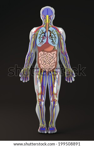 Section Human Body Internal Organs Apparatuses Stock Illustration ...
