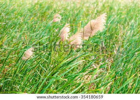 Sedge or grass flower field at lake or swamp. - stock photo
