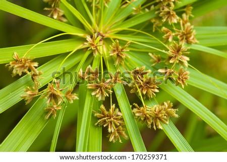 sedge plant flowers natural background - stock photo