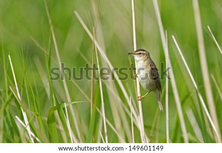 Sedge Warbler (Acrocephalus schoenobaenus)  - stock photo