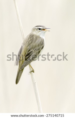 Sedge Warbler, in natural habitat / Acrocephalus schoenobaenus - stock photo