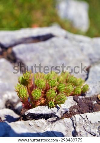 sedum alpestre flowers - stock photo