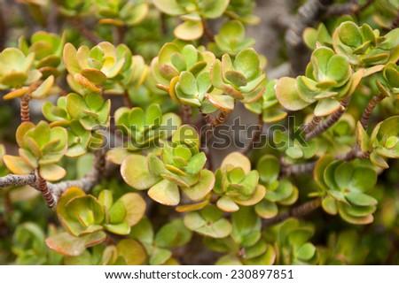 Sedum close up - stock photo