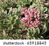 Sedum false, or stonecrop, form tricolor (Sedum spurium) - stock photo