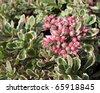 Sedum false, or stonecrop, form tricolor (Sedum spurium) - stock photo