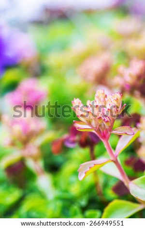 Sedum Hylotelephium is a large genus of flowering plants in the family Crassulaceae, members of which are commonly known as stonecrops. - stock photo