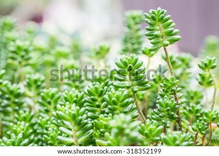 Sedum pachyphyllum the succulent plants in garden , Soft & Dreamy Effect, Low Clarity - stock photo