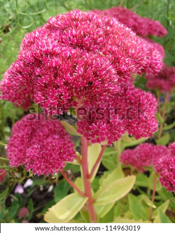 Sedum Plant (Sedum Telephium) - stock photo