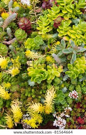 Sedum plants in the garden - stock photo