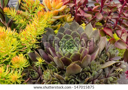 Sedum plants or sempervivum used for sustainable roof plantings - stock photo