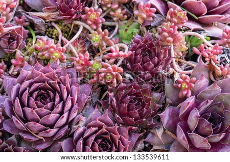 Sedum plants used for a green roof project - stock photo