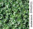 Sedum, stonecrop, crassula - stock