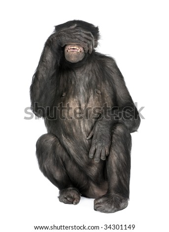 see no evil monkey (Mixed-Breed between Chimpanzee and Bonobo) (20 years old) in front of a white background