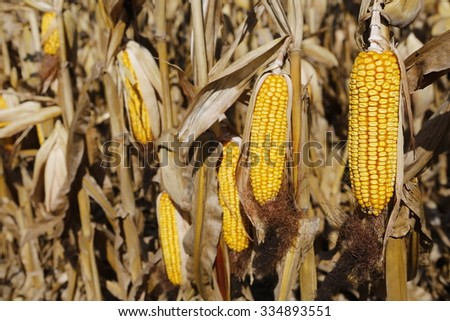 Seed corn ready for the Harvest