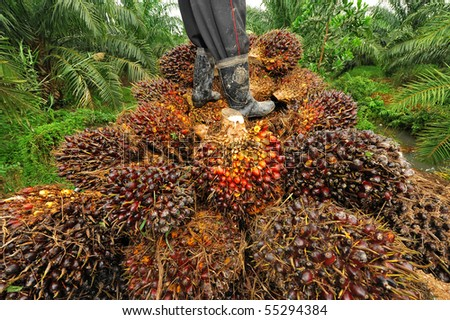 seed of palm oil