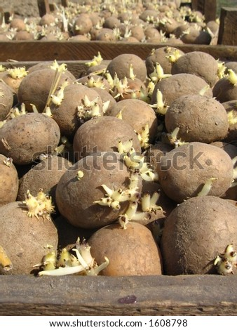 seed-potatoes in box - stock photo