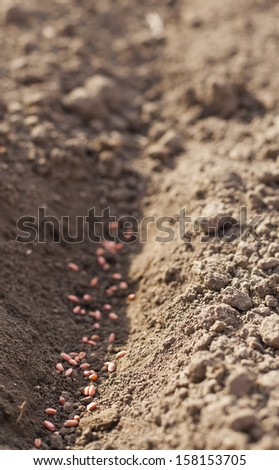 Seeding wheat grains at field - stock photo