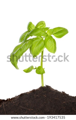 Seedling basil plant growing in soil against a white background