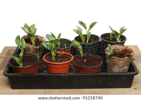 Seedling broad bean vegetable plants in pots and a tray on a wooden bench