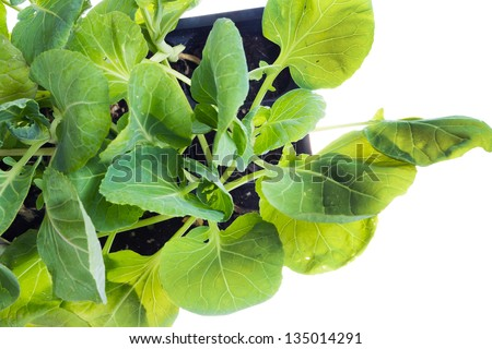 Seedling brussels sprouts in a container.Top view - stock photo