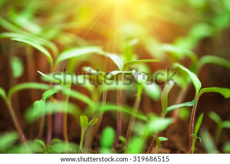 Seedling cabbage plant. Agriculture concept. Small depth of field. - stock photo