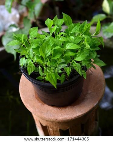 seedling chili pepper plant - stock photo