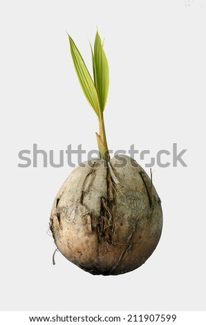 seedling coconut